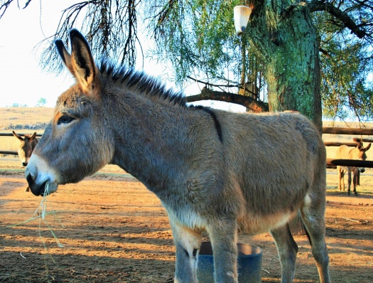 grey-donkey_cropped_2